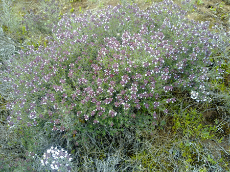 Thym antioxydant naturel puissant thym bio anti cancer - Anti herbe puissant ...