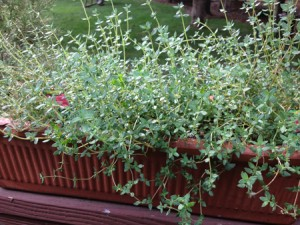 Plant de thym bio