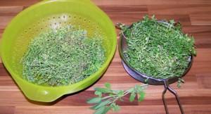 Récolte de thym bio antioxydant naturel puissant